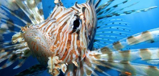 lionfish-hybrid