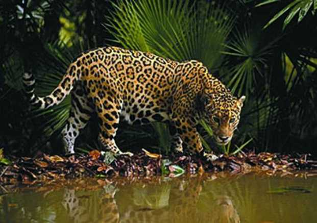 jaguar-costa-rica