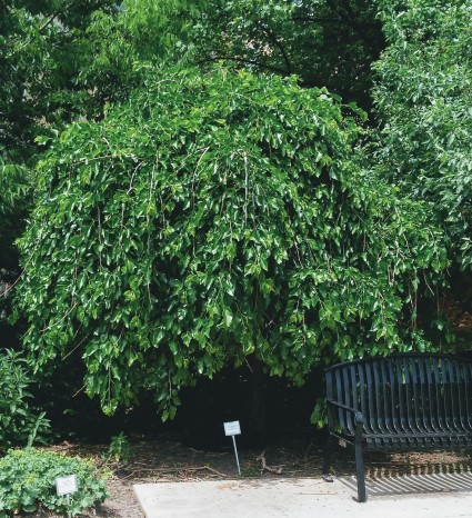 a weeping tree in Wisconsin