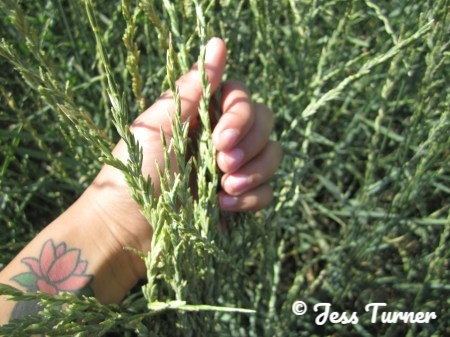 holding kernza in an experimental crop field in kansas