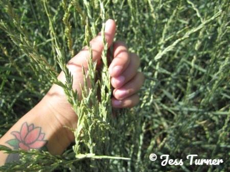 holding kernza in an experimental crop field in kansas
