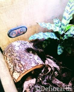 rattlesnake plant in terrarium