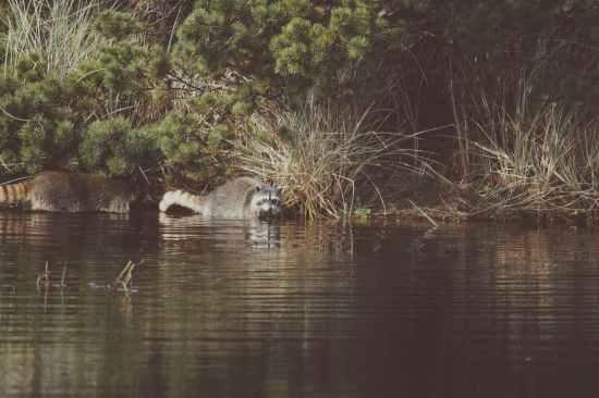 animal lake outdoors raccoon