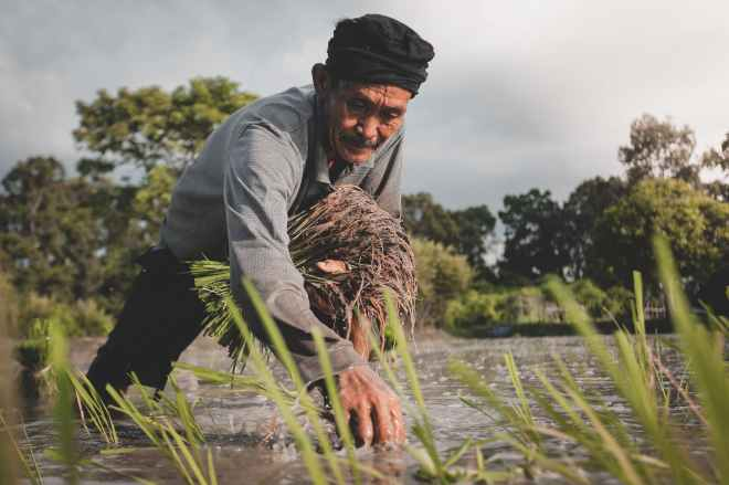 man in grey long sleeved shirt planting rice