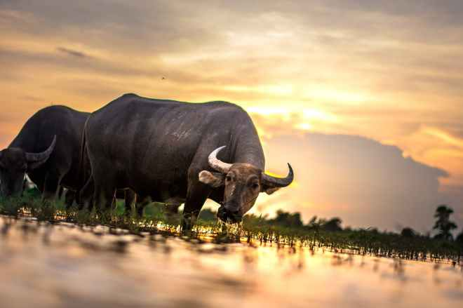 agriculture animals asia buffalo