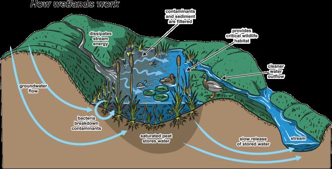 how-wetlands-work